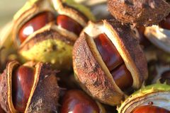 Conkers! Stock Images