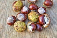 Conkers das castanhas-da-índia imagem de stock