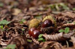 Conkers de la castaña de caballo en las hojas de otoño Imagen de archivo libre de regalías