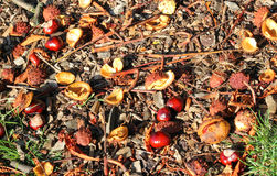 Conkers fallen to the ground in the fall or Autumn. Royalty Free Stock Images
