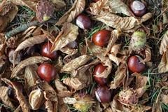 Conkers, hojas, ramitas y cáscaras en la tierra debajo de un árbol de castaña de caballo Imagen de archivo