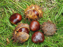 Conkers Stock Image