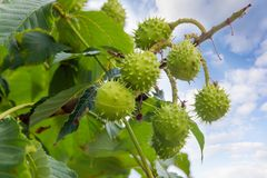 Conkers on a horse chestnut tree against of sky. Several ripe horse chestnuts in their green prickly shells on a horse chestnut tree on a background of the sky royalty free stock photography
