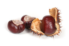 Conkers or horse chestnuts Royalty Free Stock Image