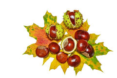 Conkers -  horse-chestnuts Royalty Free Stock Image