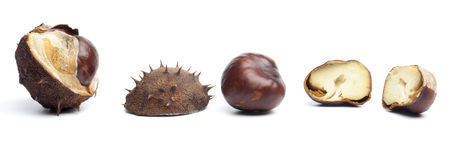 Conkers or horse chestnuts in capsule Royalty Free Stock Photo