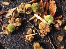 Conkers. And leaves on the asphalt Stock Photo