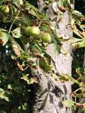 Conkers na árvore fotografia de stock royalty free