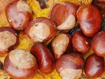 Conkers outside leaf Stock Photos