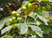 Conkers ripening on a horse chestnut Stock Photo