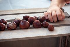 Conkers, shelled chestnuts on wooden box picked up bz zoung girls hand stock photos