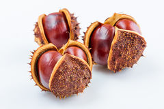 Conkers in their shells Royalty Free Stock Photo