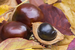 Conkers. Three conkers on a leafy backdrop Stock Image