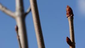 Conkerträdknoppar i tidig vår stock video
