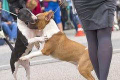 Connaissance de deux bulls-terrier Photos stock