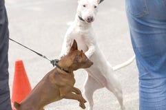 Connaissance de deux chiens Photos stock