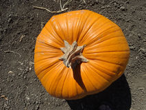 Connecticut Field pumpkin, Cucurbita pepo Royalty Free Stock Photos