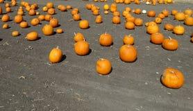 Connecticut Field pumpkin, Cucurbita pepo Stock Images
