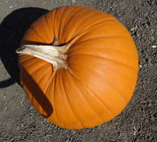 Connecticut Field pumpkin, Cucurbita pepo Royalty Free Stock Photo