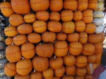 Connecticut Field pumpkin hut wall, Cucurbita pepo Royalty Free Stock Photo