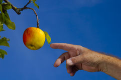 Connecting with nature. An old farmer points to an apple on one of his trees with a gesture reminiscent of Adam's in Michaelangelo's Sistine Chapel mural Stock Images