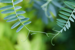Connection concept image. Two interconnected plants with green leaves. Soft and blurry background. macro view. shallow Stock Image