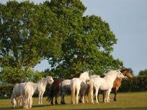 Connemara Herde Lizenzfreie Stockbilder