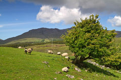 Connemara mountains. Sheep and rams in Connemara mountains - Ireland Stock Photography