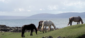 Connemara poneys Royalty Free Stock Photos