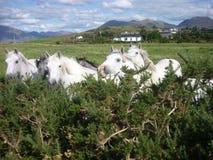 Connemara ponies Stock Photo