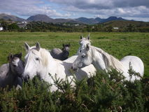 Connemara ponies Royalty Free Stock Images
