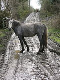 Connemara ponies Stock Image