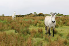 Connemara Ponies. Two white Connemara Ponies standing in the field. Roundstone, co. Galway, Ireland stock photo