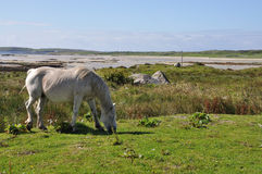 Connemara pony. At pasture with a beach on background Stock Image