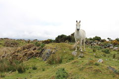 Connemara Pony. A white Connemara Pony standing in the field. Roundstone, co. Galway, Ireland Royalty Free Stock Photography