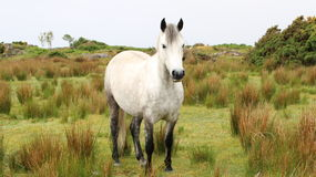 Connemara Pony. A white Connemara Pony standing in the field. Roundstone, co. Galway, Ireland royalty free stock photos