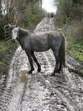 Connemara-Ponys Stockbild