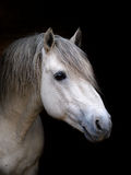 Connemara Stallion Headshot Lizenzfreies Stockfoto