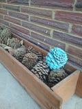 Cono azul del pino de la aguamarina Imagen de archivo libre de regalías