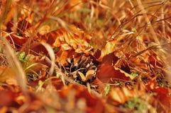 Cono caduto con le foglie arrugginite su erba Fotografia Stock Libera da Diritti