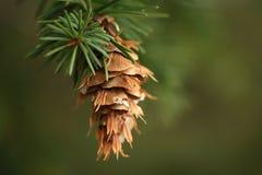 Cono colgante del pino Imagenes de archivo