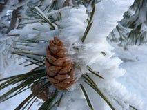Cono congelado del pino Fotografía de archivo