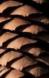 Cono de abeto Imagenes de archivo