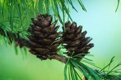 Cono de abeto en árbol Imagen de archivo libre de regalías