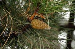 Cono de abeto en invierno Foto de archivo libre de regalías