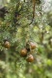 Cono de Cypress que cuelga en una rama con la gota de agua imagen de archivo