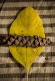 Cono de la hoja y del pino Foto de archivo