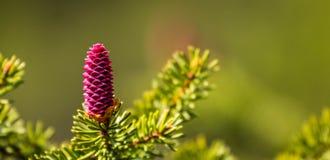 Cono de la primavera en rama Fotografía de archivo