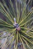 Cono dei giovani del pino di Ponderosa Fotografia Stock Libera da Diritti