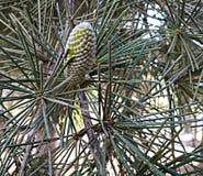 Cono del árbol de cedro fotografía de archivo libre de regalías